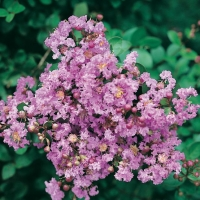 Lagerstroemia INDICA (Lillà delle Indie)