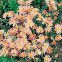 Chrysanthemum 'Lady Brockett'