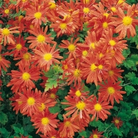 Chrysanthemum 'Orange Wonder'