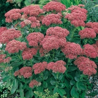 Sedum 'Hebstfreude' ('Autumn Joy')