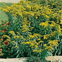 Solidago shortii