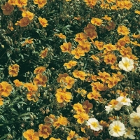 Helianthemum 'Old Gold'