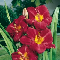 Hemerocallis 'Charles Johnston'