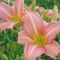Hemerocallis 'Chosen Love'