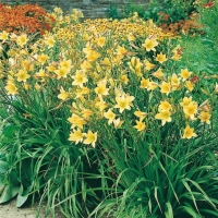 Hemerocallis 'Lemon Bells'