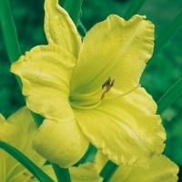 Hemerocallis 'Green Goddess'