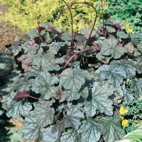 Heuchera 'Pewter Veil'