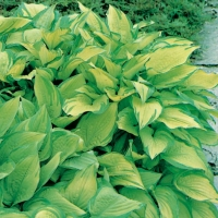 Hosta 'Fortunei Albopicta'