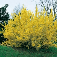 Forsythia x INTERMEDIA 'SPRING GLORY'