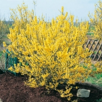Forsythia MÉLÉE D'OR<sup>®</sup> 'COURTANEUR'