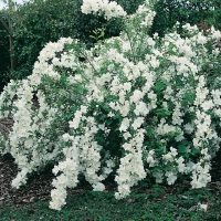 Philadelphus WHITE ROCK<sup>®</sup> 'PEKPHILL'