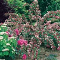 Weigela CARNAVAL<sup>®</sup> 'Courtalor'