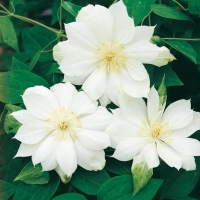 Clematis 'DUCHESS OF EDINBURGH'