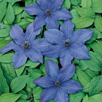 Clematis 'VIOLE CHARM'