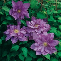 Clematis 'VYVYAN PENNELL'