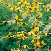 Clematis 'GOLDEN TIARA'<sup>®</sup> Kugotia