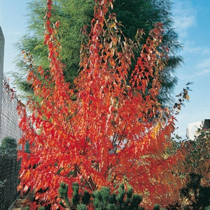 Acer GINNALA in autunno