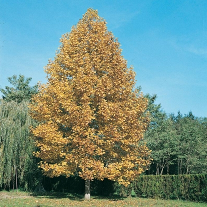 Liriodendron TULIPIFERA in autunno