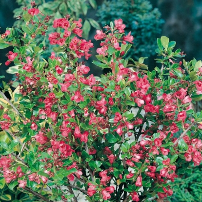 Escallonia 'DONARS RADIANCE'