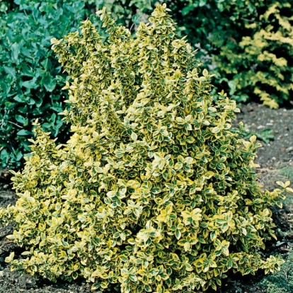 Euonymus 'EMERALD'N GOLD'
