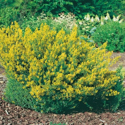 Genista TINCTORIA 'ROYAL GOLD'