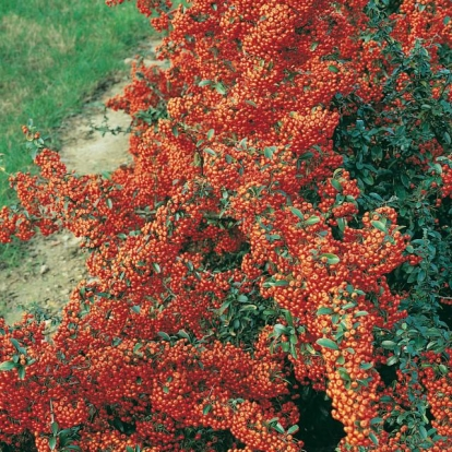 Pyracantha SAPHYR ORANGE® 'Cadaune'