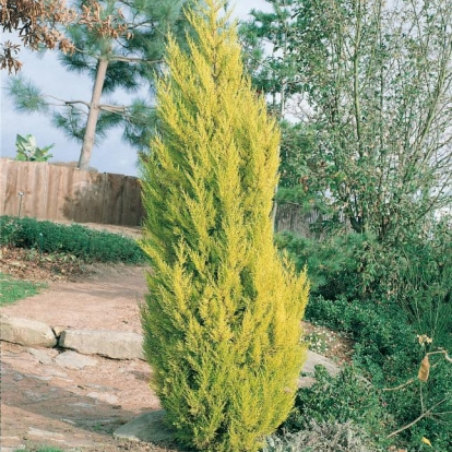 Cupressus MACROCARPA 'GOLDEN PILLAR'