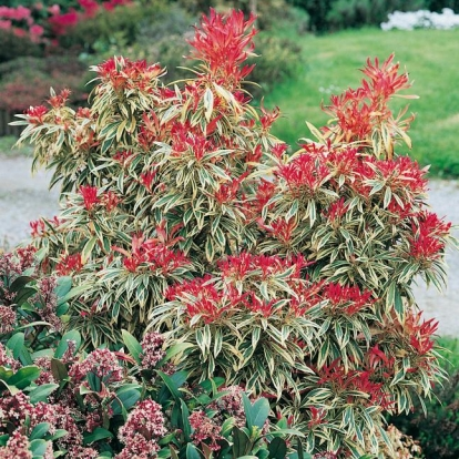 Pieris 'HAVILA'