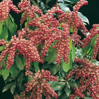 Pieris JAPONICA 'VALLEY VALENTINE'