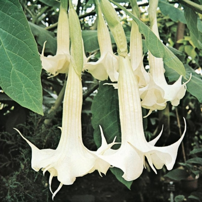 Brugmansia 'DOUBLE WHITE'