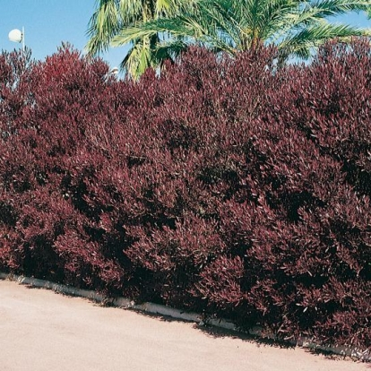 Dodonea VISCOSA 'PURPUREA'