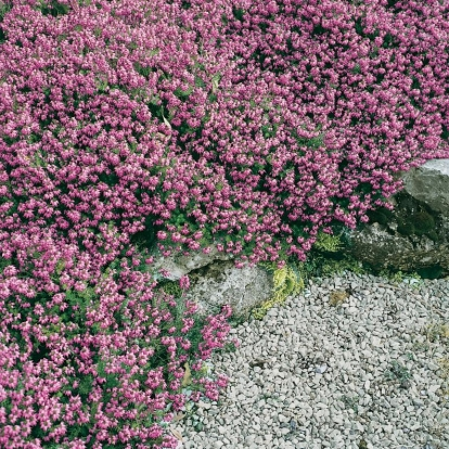 Erica carnea 'Winter Beauty'