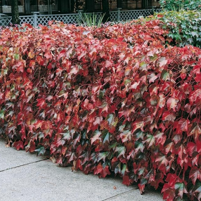 Parthenocissus TRICUSPIDATA 'ROBUSTA' in autunno