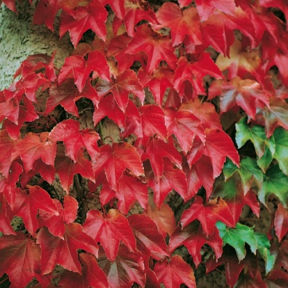 Parthenocissus TRICUSPIDATA 'VEITCHII' in autunno