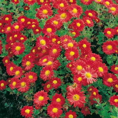 Chrysanthemum 'Apollo'