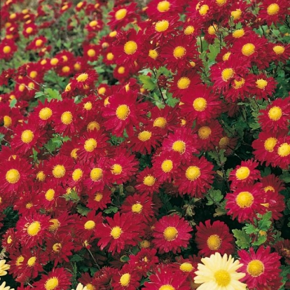 Chrysanthemum 'Ceddie Masson'