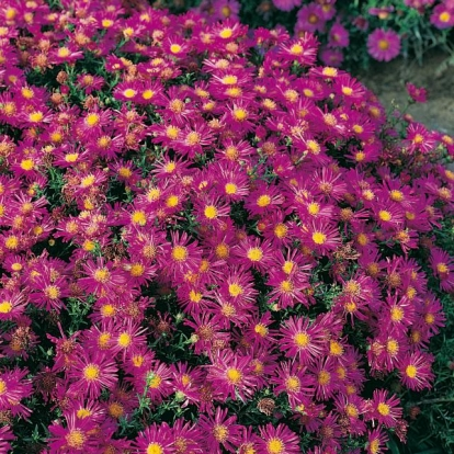 Aster 'Alice Haslam'