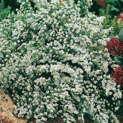 Aster 'Snow Flurry'