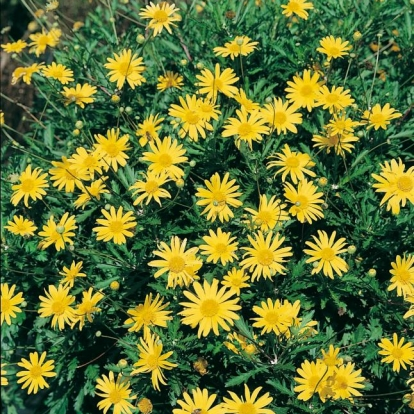 Euryops chrysanthemoides 'Sunshine'