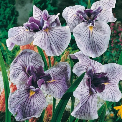 Iris ensata 'Royal Pageant'