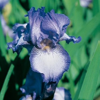Iris Barbata-elatior 'Earl of Essex'