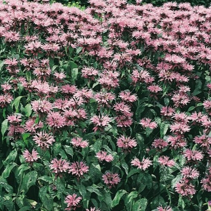 Monarda Ibrido 'Beauty of Cobham'