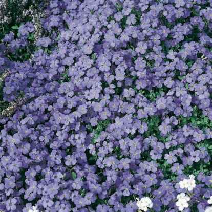 Aubrieta 'Blue King'