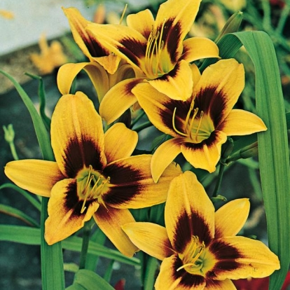 Hemerocallis 'Wideyed'