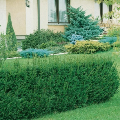 Taxus x MEDIA 'STRAIT HEDGE'