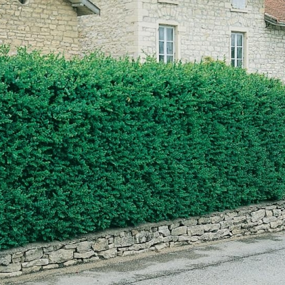 Buxus SEMPERVIRENS in siepe