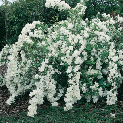 Philadelphus WHITE ROCK® 'Pekphill'