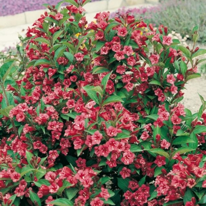 Weigela 'NEWPORT RED'