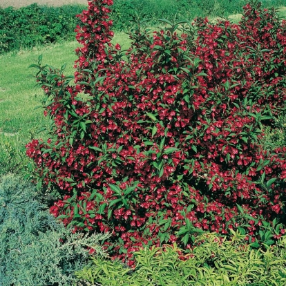 Weigela RUBIVIF ®  'Courtavit'