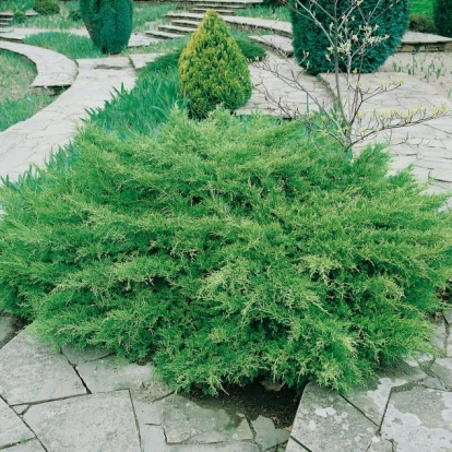 Juniperus x MEDIA ''PFITZERIANA'